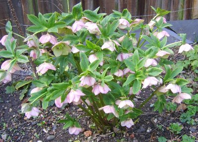 Large_clump_hellebore