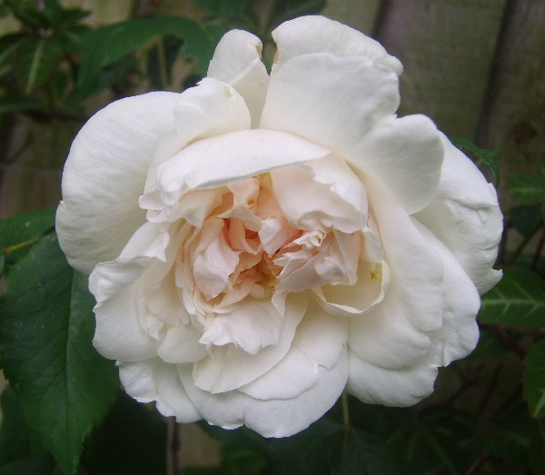 white rose flowers. listed as a white rose (a
